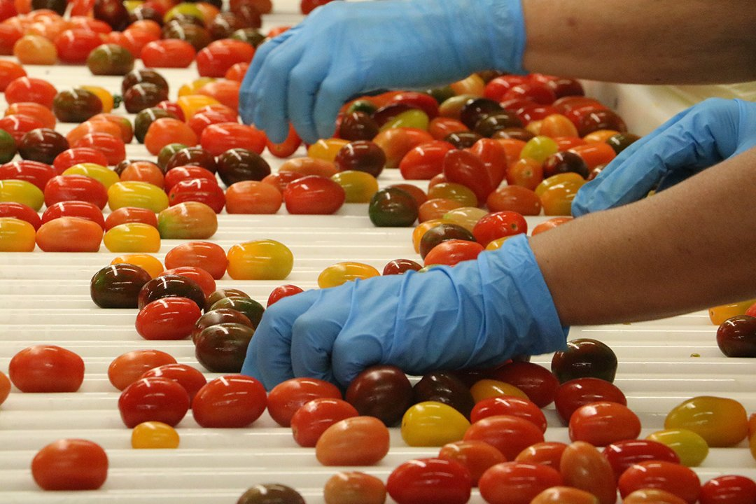 Tomato Packing Line